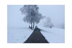 Und noch ein verschneiter Sonntagmorgen (balu51) Tags: morgenspaziergang sonntagmorgen schnee verschneit grau nass landschaft feldweg birke wiese april 2019 copyrightbybalu51