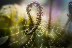 Unfurling fern frond (judy dean) Tags: batsford velvet56 plants lensbaby gardens judydean 2019 arboretum spring fern frond spidersweb web texture ps