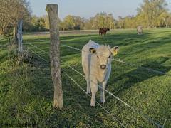 BS-Stöckheim, Weide (bleibend) Tags: 2019 em5 leicadgsummilux25mmf14 omd braunschweig bs bsstöckheim kuh kühe m43 mft natur nature niedersachsen olympus olympusem5 olympusomd tiere weide