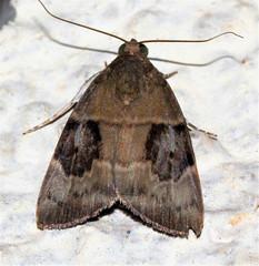 ecosystem/fauna/Nolid Moth(Maceda mansueta) (biodiversity western ghats(before it is gone)) Tags: taxonomy:binomial=macedamansueta chloephorinae nolidae diversityindia indianmoths