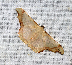 ecosystem/fauna/Geometrid Moth(Zeheba aureata) (biodiversity western ghats(before it is gone)) Tags: taxonomy:binomial=zahebaaureate geometridae ennominae eutoeini diversityindia indianmoths