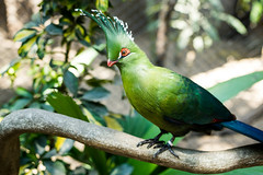 Guinea turaco bird with decorated head feathers.DNG
