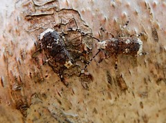 Platystomos albinus (rockwolf) Tags: platystomosalbinus fungusweevil anthribidae platystomeàrostreblanc curculionoidea beetle coleoptera earnwoodcoppice wyreforest shropshire rockwolf