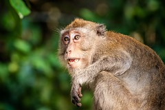 Ao Nang Monkey (grzegorzmielczarek) Tags: longtailedmacaqque krabi javaneraffe langschwanzmakak thailand aonang macacafascicularis amphoemueangkrabi