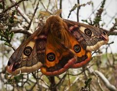 Emperor Moth. (Saturnia pavonia) male. (gailhampshire) Tags: emperor moth saturnia pavonia male taxonomy:binomial=saturniapavonia