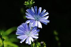 Chicorée IMG_1729 (Paul_Paradis) Tags: blossom fleur flora floral flower garden jardin plant plante nature summer ete chicoree macro brillant canada quebec natural iledorleans