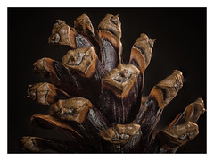 Pinecone (Werner Demming) Tags: tannenzapfen pinecone natur nature macro nahaufnahme focusstacking color wernerd