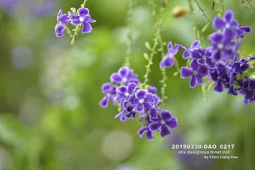 20190330-DAO_0217 一串串藍紫色的蕾絲金露花,金露花,花
