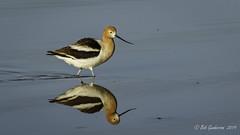 American Avocet (Bob Gunderson) Tags: aerialwaterbirds americanavocet birds blackskimmer recurvirostraamericana rynchopsniger shorebirds