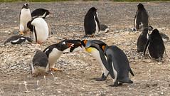 What's the matter?! / В чём дело?! (Vladimir Zhdanov) Tags: travel argentina martilloisland tierradelfuego animals birds penguin pygoscelispapua aptenodytespatagonicus nature