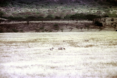 77-262 (ndpa / s. lundeen, archivist) Tags: nick dewolf color photograph photographbynickdewolf 1976 1970s film 35mm 77 reel77 africa northernafrica northeastafrica african ethiopia ethiopian centralethiopia southwesternethiopia grass grassy landscape terrain animals zebras grevyszebras zebra animal grevyszebra grévyszebra grévys southernethiopia