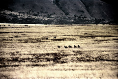 77-253 (ndpa / s. lundeen, archivist) Tags: nick dewolf color photograph photographbynickdewolf 1976 1970s film 35mm 77 reel77 africa northernafrica northeastafrica african ethiopia ethiopian centralethiopia southwesternethiopia grass grassy landscape terrain animals zebras grevyszebras zebra animal grevyszebra grévyszebra grévys southernethiopia
