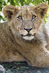 The pretty Nigel (Tambako the Jaguar) Tags: lion big wild cat young cub posing resting portrait face cute male vegetation lionsafaripark johannesburg southafrica nikon d5