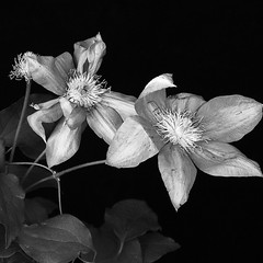 Clemantis Starting to Climb (kinglear55) Tags: blackandwhite monochrome clemantis flower vine art photography panasonic lx7