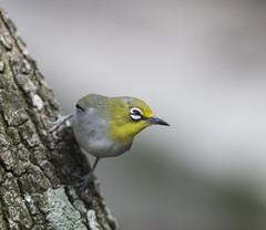 Japanese White-Eye (Macrudite) Tags: nikon d850 300 f4 afs wildlife nature animals animal birds bird