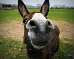 My Pal the Donkey (eric robb niven) Tags: ericrobbniven scotland donkeys nature duntrune angus springwatch