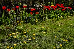 Löwenzahn und Tulpen (Helmut Reichelt) Tags: geburtstag blumen löwenzahn tulpen blüten garten geretsried april frühling wald bayern bavaria deutschland germany leica leicam typ240 captureone12 dxophotolab leicasummilux50mmf14asph
