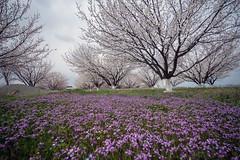 DSC04077 (Angler61) Tags: цветы абрикос араратская долина пейзаж nature природа flowers spring весна армения armenia