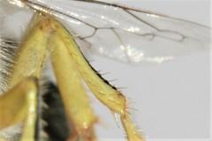 Bembix merceti male mid tibia (Juan Briantspuddle) Tags: bembixmerceti crabronidae bembicini midtibia