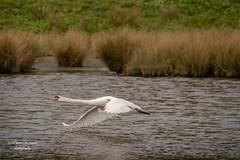 DSC02285 (davyskin46) Tags: sony slt a77ii avian muteswan inflight wwt wildfowlandwetlandstrust northeastofengland tamronspaf70300mmf456diusdlens