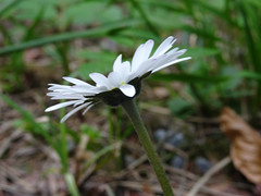 Gänseblümchen (Priska B.) Tags: gänseblümchen geisseblüemli blumen blüten frühling pflanze schweiz switzerland swiss svizzera nidwalden zentralschweiz innerschweiz