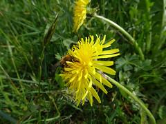 Biene im Löwenzahn (Priska B.) Tags: biene löwenzahn blume blüte gelb wiese frühling schweiz switzerland swiss svizzera nidwalden zentralschweiz innerschweiz