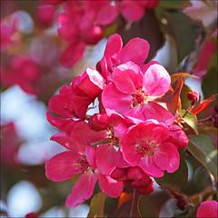 Apple Crab Tree Blossom (jo92photos) Tags: blossom appletree tree spring springtime pink deeppink flowers crabapple crab malus harrybaker