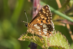 Duke of Burgundy Butterfly (explored) (Anne Richardson) Tags: butterfly dukeofburgundy noarhill hampshire insect wildlife nature photography macro macrophotography