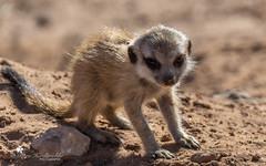 Meerkat (petraherdlitschke) Tags: africa südafrika kalahari animals wildlife meerkat erdmännchen outofafrica outdoors nature naturephotography africanwildlife gamedrive canon7dmark2 sigma150600sport