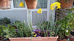 Mini-Daffs seen from outside of balcony 22nd April 2019 002 (D@viD_2.011) Tags: minidaffs seen from outside balcony 22nd april 2019