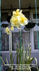 Daffodil 'Yellow Cheerfulnes' seen from outside of balcony 22nd April 2019 003 (D@viD_2.011) Tags: daffodil yellow cheerfulness seen from outside balcony 22nd april 2019