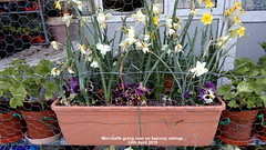 Mini-Daffs going over on balcony  railings 24th April 2019 (D@viD_2.011) Tags: minidaffs going over balcony railings 24th april 2019