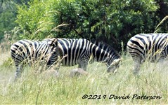 Zebra 012 (David Paterson photos) Tags: africa animals pilanesburg animalafricazebra