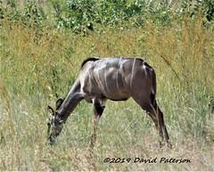 Kudo 003 (David Paterson photos) Tags: africa animals pilanesburg animalafricakudu