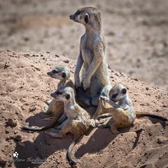 Meerkat (petraherdlitschke) Tags: africa südafrika kalahari wildlife animals meerkat erdmännchen outofafrica outdoors africanwildlife canon
