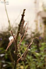 Pruning (Bernardo Serrano) Tags: canon insectos bugs wild salvaje naturaleza nature mariposas butterfly butterflies larva
