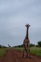 Girafe (Le Méhauté Sébastien) Tags: girafe kruger afrique du sud south africa animaux sauvage
