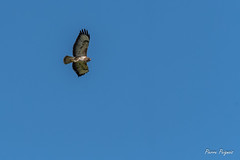 D50_3689 (pierre.peignois) Tags: buse variable buteo common buzzard
