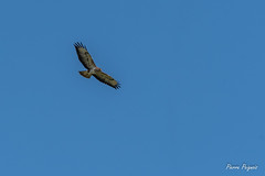 D50_3687 (pierre.peignois) Tags: buse variable buteo common buzzard