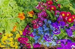 Braunschweig, Blumen (bleibend) Tags: 2019 em5 leicadgsummilux25mmf14 omd blumen braunschweig bs m43 mft natur nature niedersachsen olympus olympusem5 olympusomd pflanzen