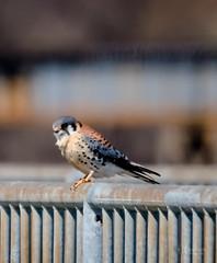 American Kestrel (Kelly_MR) Tags: americankestrel bird birds hawk kestrel raptor wings