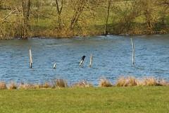out for a walk (kokoschka's doll) Tags: bird cormorant pole rutlandwater reservoir rutland