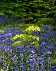 Spring (Donard850) Tags: countydown narrowwaterforest northernireland beechsapling bluebells green leaves sapling spring trees wood