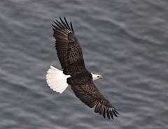 Bald Eagle (kearneyjoe) Tags: baldeagle cuckholdscove signalhill