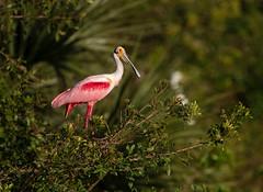 Pretty Pink Poses... {Explored} (DTT67) Tags: roseatespoonbill spoonbill spoony florida 1dxmkii canon1dxmkii 14xtciii 500mmii canon perched pink bird nature wildlife