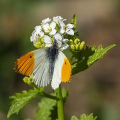 Anthocharis cardamines (Ouwesok) Tags: sonyslta77 sigmaapo56180mmaf anthochariscardamines oranjetipje vlinder insect harderbos