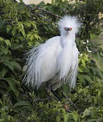 Snowy Egret (Mawrter) Tags: snowyegret egret hair fluff nature plumage breedingplumage staugustine staugustinealligatorfarm florida specanimal