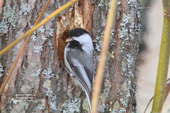 Black Capped Chickadee_IMG_2160 (bud_marschner) Tags: creamersfield fairbanksalaska blackcappedchickadee