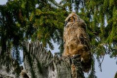Wild great horned owlet april 24 2019 (Mel Diotte) Tags: wild nature great horned owlet owl feathers hunter mel diotte nikon d500 200500mm explore