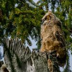 Wild great horned owlet april 24 2019 thumbnail